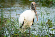 Wood Stork Fishing In Wetland Marsh At Orlando Wetlands Park Near Cape Canaveral In Christmas Florida.