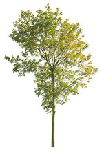 Autumnal Plane Tree, Isolated Tree On White Background
