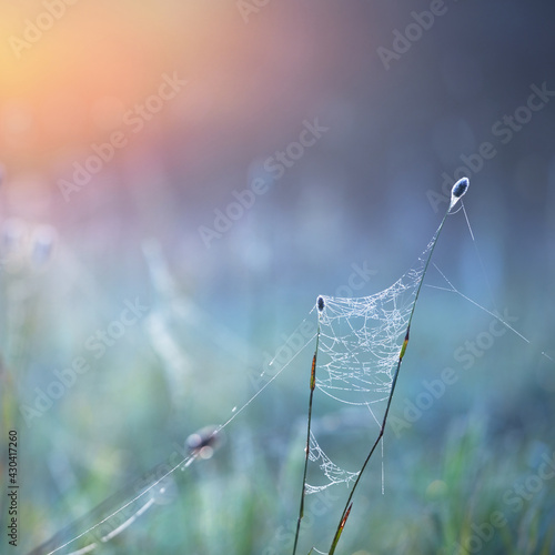 Foto Spider web, plants, dew drops in a morning haze at sunrise, close-up