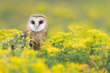 Amazing Portrait Of Barn Owl Wrapped By Flowers (Tyto Alba)