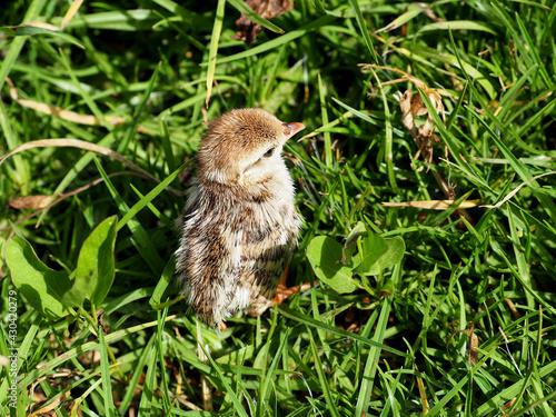 Fototapeta Partridge chick hunts in the green grass