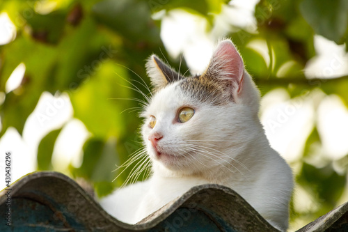 Fototapeta premium White cat on the roof on a blurred background