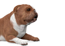 Bulldog Is Lying Down On White Background Close Up View With Copy Space