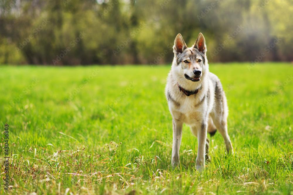 Fototapeta Piękny pies bawiący się na trawie