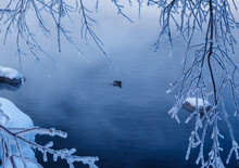 Duck On The River In Frosty Minus 30 Day On The River Among The Branches With Frost