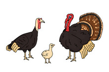Vector Cartoon Outline Family Of Male, Female, Chicken Baby Poult Turkey. Doodle Isolated Hand Drawn Animals Illustration On White Background