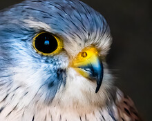 Blue Eurasian Kestrel Close Up