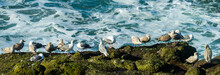 A Panorama Of A Flock Of Seagulls Resting On Moss Covered Rocks With Ocean Waves In Background