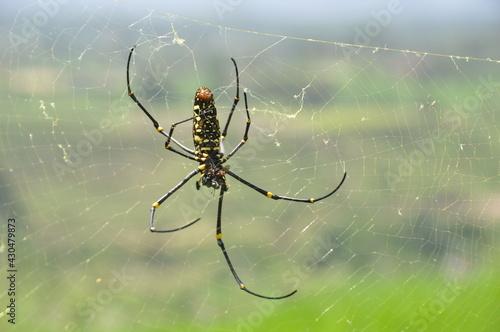 Vászonkép araignée en Indonésie