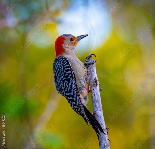 Fototapeta premium red billed kingfisher