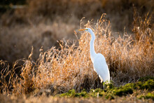 Great White Egret Standing At Sunset Alone