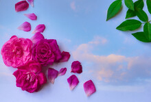 Tres Rosas Rosadas Sobre Fondo Negro  Para Sitios Web, Tarjetas Del Día De La Madre, Día De La Mujer, Matrimonios Etc.