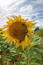 Cetonia Aurata Or Rose Chafer On Sunflower (Helianthus Annuus).