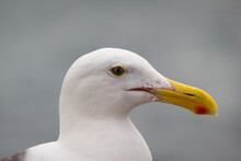 Detail Of Seagull Head  Looking To The Side