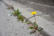 Dandelion Flower Growing Between Asphalt And Curbs. Nature Against Man, Surviving, Symbol Of Struggle For Life
