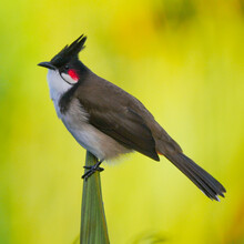 Red Whiskered Bulbul Bird Isolated On Green Yellow Background