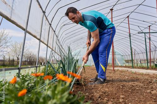 Fototapeta Farmer weeding the spring onions obraz