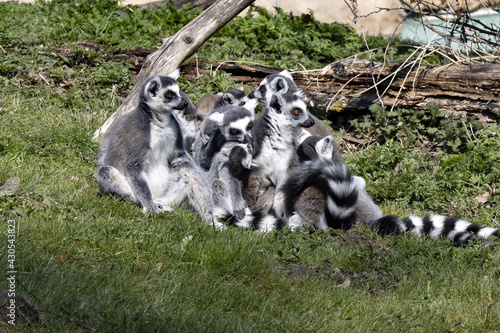 Fototapeta premium A group of female Ring-tailed Lemurs, Lemur catta, with small cubs