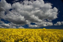 Mustard Flower Covers The Field. Yellow Flowers Against The Blue Sky.