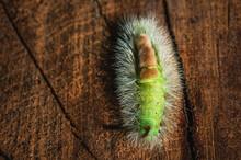 Top View Of Pale Tussock (Calliteara Pudibunda) Caterpillar On A Tree Stump
