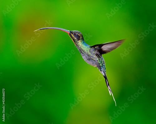 Fototapeta premium A female Green Hermit hovers near a floral food source - Costa Rica