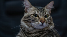 Portrait Of Egyptian Domestic Short Haired Cat.