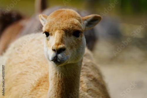 Fototapeta premium portrait of a goat