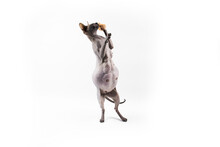 Sphynx Pregnant Cat. Beautiful Gray Hairless Sphynx Cat Stand On Two Paws And Try Catch Something.