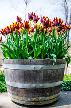 Vertical Shot Of Fresh Red And Yellow Tulip Flowers On A Barrel