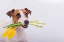 Portrait Of A Jack Russell Terrier In A Bouquet Of Yellow Tulips In His Mouth On A White Background. Dog Congratulates On International Women's Day