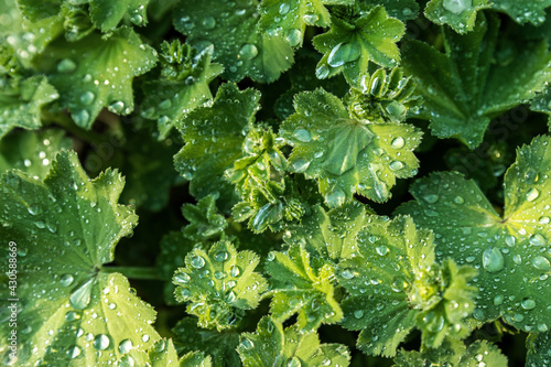 Obraz na płótnie Abstract close-up top view of Alchemilla Vulgaris plant or lady's mantle flower with morning dew drops of fresh raindrop after summer rain on hot summertime day