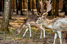 Male And Female Doe With Walking In The Forest