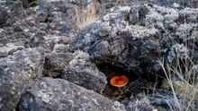 Amanita Muscaria  Bajo Piedra Volcanica