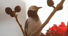 Black Collared Starling Bird In Hong Kong