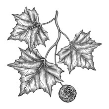 Hand Drawn Sketch Of American Sycamore Or Western Plane Branch With Fruit And Leaf In Black Isolated On White Background.