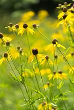 Ratibida Pinnata, Pinnate Prairie Coneflower, Gray-head Coneflower, Yellow Coneflower, Prairie Coneflower