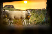 Selective Focus Shot Through A Frame Of Sheep In The Meadow During The Sunset
