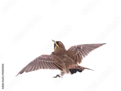 Valokuva horned lark ( Eremophila alpestris) spread wings isolated on white background