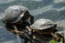 Tartarughe  Al Sole Vicino Allo Stagno Turtles In The Sun Near The Pond