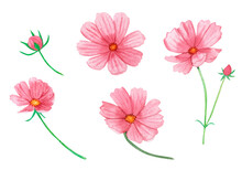 Watercolor Set Of Pink Summer Flowers Isolated On A White Background. Hand Drawing, Delicate Soft Colors. Cosmos Flowers.