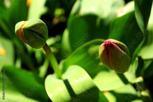 Obraz budzące sie do życia tulipany - fototapety do salonu