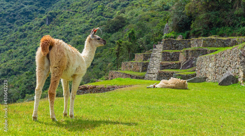 Fototapeta premium Llama (Lama glama) panorama in Machu Picchu, Historic Sanctuary of Machu Picchu Cusco, Peru.