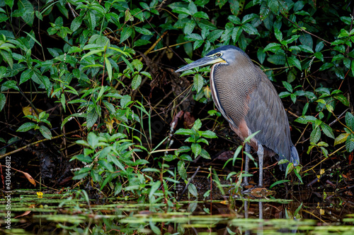 bare-throated tiger heron (Tigrisoma mexicanum) fishing in Cano Negro National Park in Costa Rica