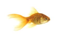 Goldfish Cutout