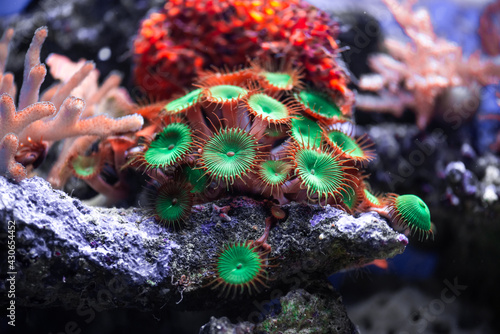 Fototapeta Coral reef colony actinia in Red sea in Egypt