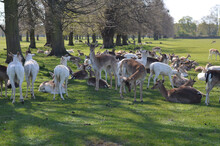 Fallow Or Spotted Deers In A Bright Sunny Day. Females Got Together And Are Relaxing In The Sunshine. These Beautiful Creatures Are Just Mesmerising.