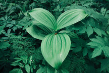 A Plant Of Unusual Shape In The Forest. Green Oval Leaves In The Grass. Beautiful Relief Surface Of Foliage.