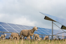 Solar Power Panels With Grazing Sheeps - Photovoltaic System