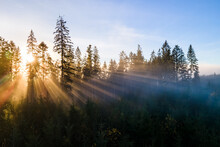 Dark Green Pine Trees In Moody Spruce Forest With Sunrise Light Rays Shining Through Branches In Foggy Fall Mountains.