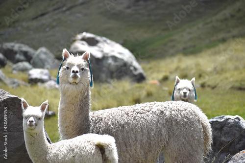 Fototapeta premium alpacas en su ambiente natural en las alturas de la puna del Perú